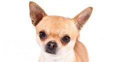 Chihuahua_hero